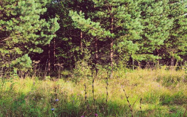 Участок с лесными деревьями